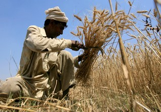 Flattened by erratic rain, Pakistani farmers ditch crop farming