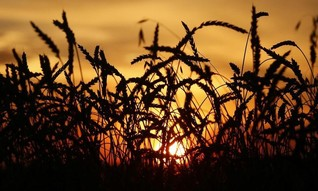 Wheat yields to fall more than expected in warmer world