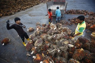 Oil palm plantations destroying SE Asia's peatlands - researchers