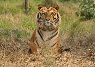 Indian tribes people duped into leaving forest homes for tigers - rights group