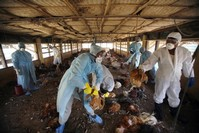 Bird flu outbreak in India caused by strain humans can contract