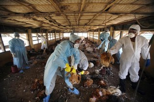 Bird flu outbreak in India caused by strain humans can contract - OIE