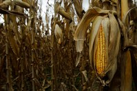 World food security at risk as variety of crops shrinks