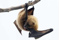Beware of bats:Guinea issues warning after Ebola outbreak