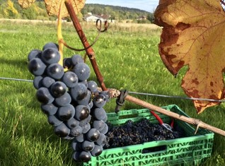 Swedish Merlot, anyone? Warmer world boosts Nordic tipples