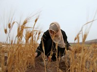 War-ravaged Syria may face worst wheat harvest in 40 years
